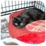 Photo 2 - Domestic Shorthair Cat for adoption in Warminster, Pennsylvania - Bear