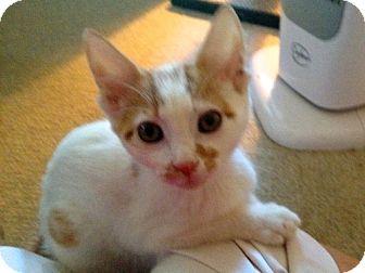 Domestic Shorthair Kitten for adoption in Trenton, New Jersey - Moxie (in foster)