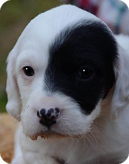 Pointer/English Setter Mix Puppy for adoption in Plainfield, Connecticut - Pearl