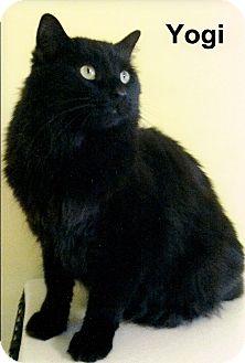 Domestic Longhair Cat for adoption in Medway, Massachusetts - Yogi