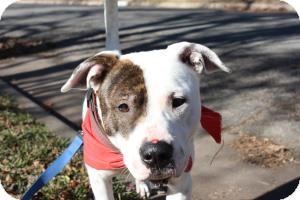 Boxer/Shepherd (Unknown Type) Mix Dog for adoption in justin, Texas - Joseph