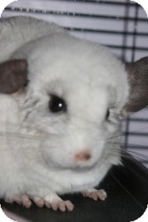 Chinchilla for adoption in Quilcene, Washington - Clover