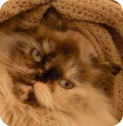 Himalayan Cat for adoption in Beverly Hills, California - Pixie