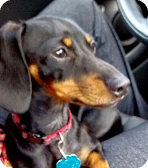 Dachshund Puppy for adoption in Mary Esther, Florida - Molly