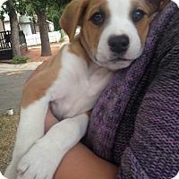 Adopt A Pet :: Cornpop - Medicine Hat, AB