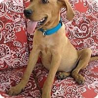 Adopt A Pet :: Flint-adoption in progress - Marshfield, MA