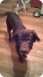 Labrador Retriever/Retriever (Unknown Type) Mix Dog for adoption in Troy, Ohio - Cinnamon~Adopted!