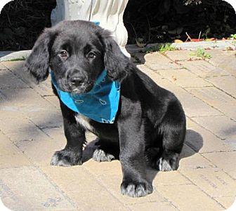 English Springer Spaniel/Labrador Retriever Mix Puppy for adoption in Port St. Joe, Florida - Perry