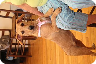 Wirehaired Fox Terrier/Dachshund Mix Dog for adoption in Homewood, Alabama - Sandy