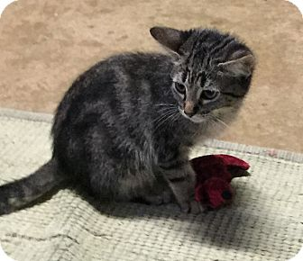 Domestic Shorthair Kitten for adoption in Round Rock, Texas - Billie Jean