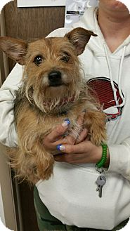 Yorkie, Yorkshire Terrier Mix Dog for adoption in Ogden, Utah - Gideon