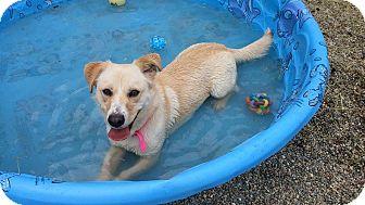 Basset Hound/Labrador Retriever Mix Dog for adoption in Toledo, Ohio - Summer
