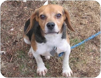 Beagle Mix Dog for adoption in Blairstown, New Jersey - Rocky