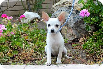Chihuahua Mix Puppy for adoption in Los Angeles, California - Prairie Dawn