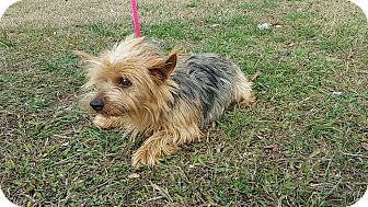 Yorkie, Yorkshire Terrier Mix Dog for adoption in Allentown, Pennsylvania - Maggie May