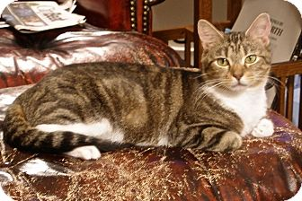 Domestic Shorthair Cat for adoption in Covington, Kentucky - FiFi
