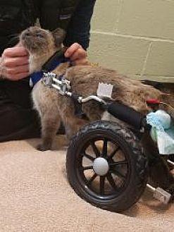 Siamese Cat for adoption in Salt Lake City, Utah - Sabrina