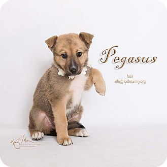 Border Collie/Shepherd (Unknown Type) Mix Puppy for adoption in Riverside, California - Pegasus
