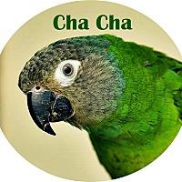 Adopt A Pet :: Cha Cha - Tampa, FL