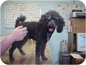 Poodle (Miniature) Dog for adoption in Gladwin, Michigan - Poodle