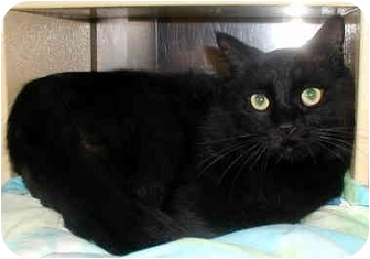 Domestic Longhair Cat for adoption in San Diego, California - Lancelot
