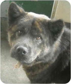 Chow Chow/Alaskan Malamute Mix Dog for adoption in Varnville, South Carolina - Bear