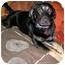 Photo 1 - Labrador Retriever/German Shepherd Dog Mix Dog for adoption in Latrobe, Pennsylvania - Dudley