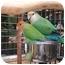 Photo 1 - Lovebird for adoption in Redlands, California - Joey & Rosie