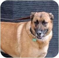 Labrador Retriever/German Shepherd Dog Mix Dog for adoption in Denver, Colorado - Shishko
