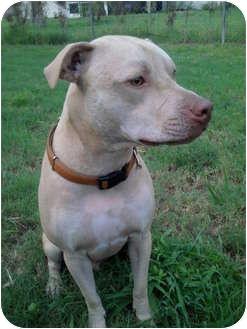 Labrador Retriever/American Pit Bull Terrier Mix Dog for adoption in Miami, Florida - Soco