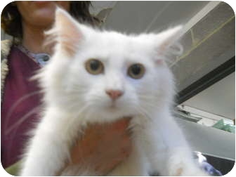 Domestic Longhair Cat for adoption in Anderson, Indiana - Fluffy