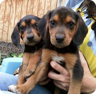 Black and Tan Coonhound Puppy for adoption in Dallas, Texas - Jubilee