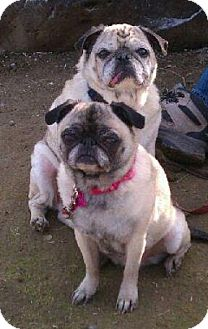 Pug Dog for adoption in Eagle, Idaho - Winston