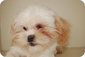 Shih Tzu Dog for adoption in SLC, Utah - Stimpy