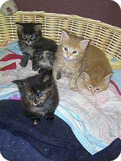 Domestic Mediumhair Kitten for adoption in San Ramon, California - Kittens