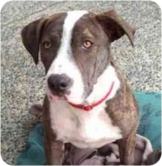 American Pit Bull Terrier/Retriever (Unknown Type) Mix Dog for adoption in West Los Angeles, California - Bella