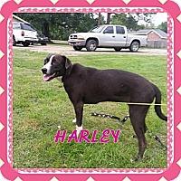 Adopt A Pet :: Harley - Donaldsonville, LA