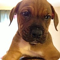 Adopt A Pet :: Mocha - Danbury, CT
