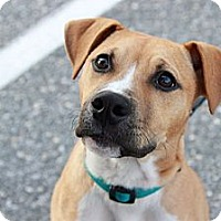 Adopt A Pet :: Ritchie - Reisterstown, MD