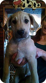 German Shepherd Dog/Labrador Retriever Mix Puppy for adoption in Portland, Maine - Dreyfus