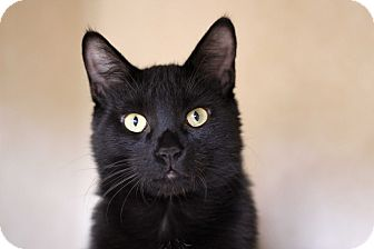 Domestic Shorthair Cat for adoption in Chicago, Illinois - Frontier