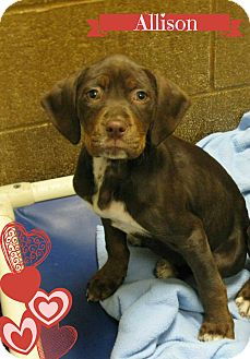Labrador Retriever Mix Puppy for adoption in Essington, Pennsylvania - Allison