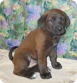 Labrador Retriever/Retriever (Unknown Type) Mix Puppy for adoption in Allentown, New Jersey - Ghirardelli