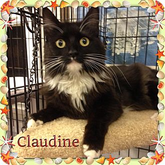 Domestic Longhair Cat for adoption in Atco, New Jersey - Claudine