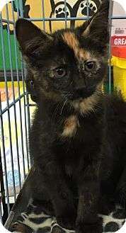 Domestic Shorthair Kitten for adoption in Ortonville, Michigan - Spice