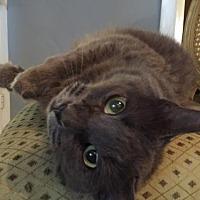 Domestic Mediumhair Cat for adoption in Royal Palm Beach, Florida - Sofie