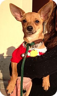 Chihuahua Mix Puppy for adoption in Santa Ana, California - Meadow (ARSG)