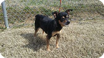 Chihuahua Dog for adoption in Wallingford Area, Connecticut - Raven