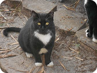 Domestic Shorthair Cat for adoption in Naples, Florida - Mr Harris