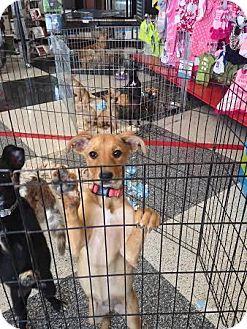 German Shepherd Dog/Labrador Retriever Mix Puppy for adoption in Denver, Colorado - Tara